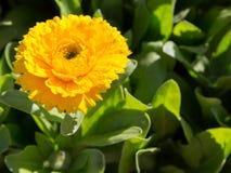 Yellow calendula flower stock photo