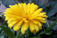 Yellow calendula in its maximum splendor Stock Photos