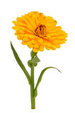 Yellow Calendula Officinalis (Pot Marigold) Flower Isolated on White Background. A yellow calendula officinalis (pot marigold) flower with green stem and leaves Stock Photos