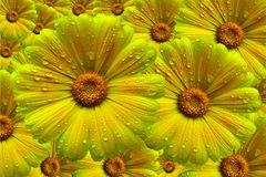 Yellow Calendula Pot Marigold Flower Composite. Royalty Free Stock Photos