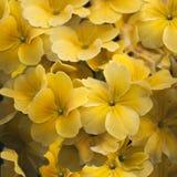 Yellow calibrachoa flowers Stock Image