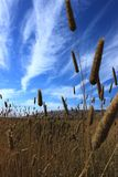 Yellow California Landscape with Cattails.  Stock Image