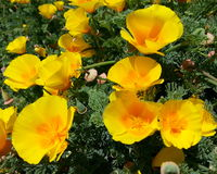Yellow California Poppies Royalty Free Stock Images
