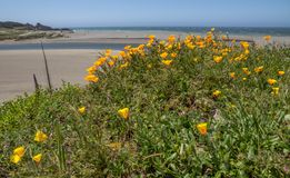 Yellow California poppies grow beside a quiet California beach. Mound of bright yellow and orange California Poppies beside a beach and the ocean in California royalty free stock photos