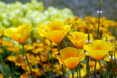 Yellow california poppy flower Stock Photos