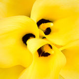 Yellow Caliliy. Bouquet of three Yellow Caliliy Stock Photos