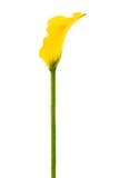 Yellow calla Royalty Free Stock Photos
