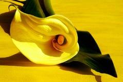 Yellow calla Royalty Free Stock Photo