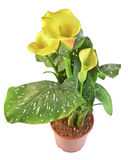 Yellow calla Royalty Free Stock Image