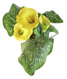 Yellow calla stock photography