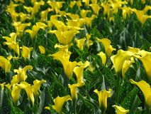 Yellow calla. Field of yellow calla in netherlands Stock Images