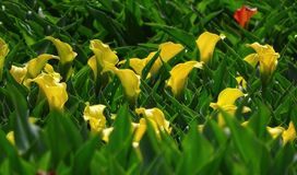 Yellow calla. Field of yellow calla in Netherlands Stock Photography