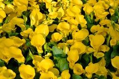 Yellow calla lilies stock photos