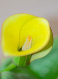 Yellow Calla Lilly Stock Image