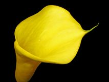 A yellow Calla Lily Stock Images