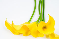 Yellow calla lily Royalty Free Stock Image