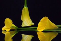 Yellow calla lily on a black glass table Stock Photography
