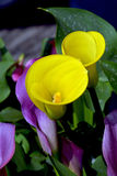 Yellow calla lily flowers Stock Image