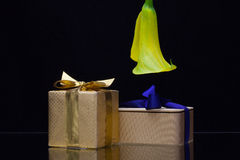 Yellow calla lily and gift on a black  background Stock Photography