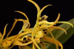 Yellow Cambria orchid Stock Photos