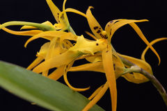 Yellow Cambria orchid Royalty Free Stock Photo