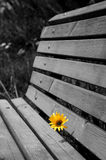 Yellow camomile. Vertical oriented image of yellow camomile grow through wooden bench in park Royalty Free Stock Photos