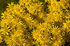 Yellow camomile backgound. Bunch of blooming yellow camomiles Royalty Free Stock Photos