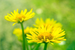 Yellow Camomile or Marigold Flowers on Grass. Background Stock Photos