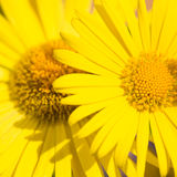Yellow camomiles close up Royalty Free Stock Photo