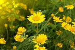 Yellow camomiles Stock Photo
