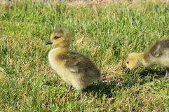 2 yellow canadian goose chicks in the grass. First is standing and looking to the camera and second is pinching grass royalty free stock photo