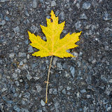 Yellow canadian maple leaf on ground Stock Photography