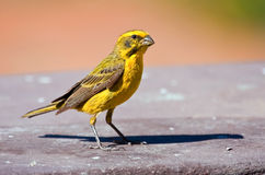 Yellow Canary. Sitting on a patio in the African sun Royalty Free Stock Image