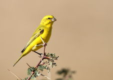 Yellow Canary. Photographed in South Africa stock image