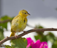 Yellow canary. Perched on tree branch, Shanzu beach Kenya Stock Photography