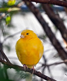 Yellow Canary. In tree resting on cold morning Stock Images