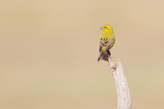 Yellow Canary Stock Photos