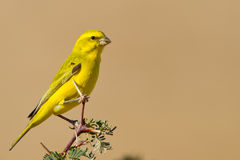 Yellow Canary. Photographed in the Kalahari Royalty Free Stock Image
