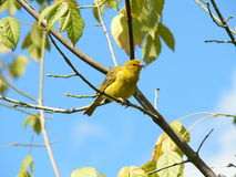 Yellow canary. Brazilian Canary or Yellow canary Stock Images