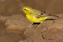 Yellow canary. (Serinus mozambicus), Kalahari, South Africa royalty free stock photos