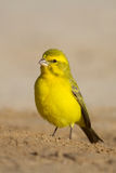 Yellow canary. A portrait of a yellow canary at eye level Royalty Free Stock Image
