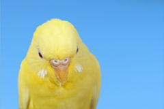 Yellow canary. Closeup yellow canary bird over blue sky Stock Photography