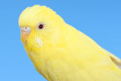 Yellow canary. Closeup yellow canary bird over blue sky Royalty Free Stock Images