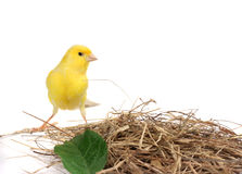 Yellow Canary. A yellow canary isolated on white Stock Image