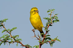 Yellow canary. (Serinus mozambicus) perched on a branch, Kalahari, South Africa Stock Photo