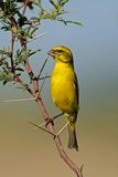 Yellow canary. (Serinus mozambicus) perched on a branch, Kalahari, South Africa Stock Images