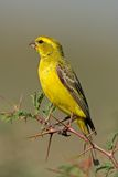 Yellow canary. (Serinus mozambicus) perched on a branch, Kalahari, South Africa Royalty Free Stock Images