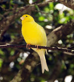 Yellow canary. Small yellow canary on a tree branch royalty free stock image