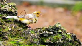 Yellow Canary Bird Stock Photos