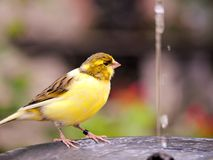 Yellow canary bird in birdbath Royalty Free Stock Photos